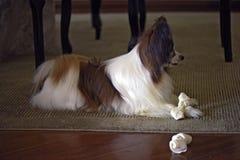 使用与他的骨头的Papillon狗 免版税库存照片