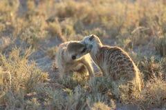 使用与eachother的Meerkats在博茨瓦纳/南非 库存图片