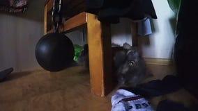 使用与wreking的球的家猫在椅子,地板表面特写镜头行动照相机射击下 股票视频