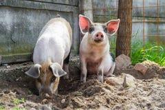 使用两个逗人喜爱的小猪外面 图库摄影