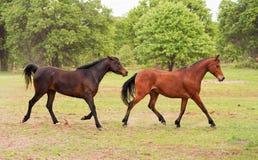 使用两匹阿拉伯的马跑和 免版税库存照片