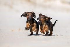 使用两只达克斯猎犬的小狗户外 库存图片