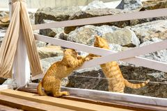 使用两只黄色的小猫外面 两激烈争斗和戏剧在石头 库存照片