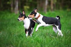使用两只basenji的小狗户外 库存照片