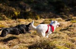 使用两条的狗跑和 免版税库存图片
