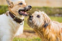 使用两条逗人喜爱的狗外面 嗅别的一条狗 图库摄影