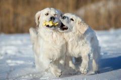 使用两条金毛猎犬的狗户外 库存照片
