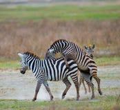 使用互相的两匹斑马 肯尼亚 坦桑尼亚 国家公园 serengeti 马赛马拉 图库摄影