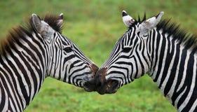 使用互相的两匹斑马 肯尼亚 坦桑尼亚 国家公园 serengeti 马赛马拉 免版税库存图片