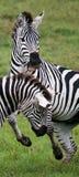 使用互相的两匹斑马 肯尼亚 坦桑尼亚 国家公园 serengeti 马赛马拉 库存照片
