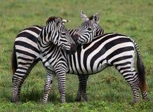 使用互相的两匹斑马 肯尼亚 坦桑尼亚 国家公园 serengeti 马赛马拉 免版税库存照片
