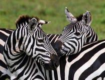 使用互相的两匹斑马 肯尼亚 坦桑尼亚 国家公园 serengeti 马赛马拉 库存图片
