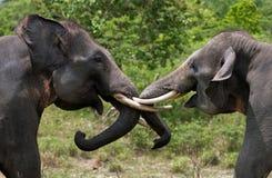 使用互相的两头亚洲大象 印度尼西亚 苏门答腊 方式Kambas国家公园 免版税库存图片