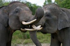 使用互相的两头亚洲大象 印度尼西亚 苏门答腊 方式Kambas国家公园 库存照片