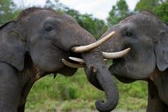 使用互相的两头亚洲大象 印度尼西亚 苏门答腊 方式Kambas国家公园 免版税库存照片