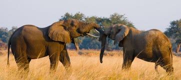 使用互相的两头大象 赞比亚 降低赞比西河国家公园 图库摄影