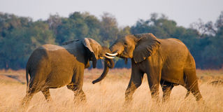 使用互相的两头大象 赞比亚 降低赞比西河国家公园 免版税库存照片