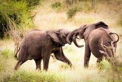 使用互相的两头婴孩非洲大象 免版税库存照片