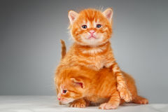 二只滑稽的矮小的红色头发小猫 库存照片