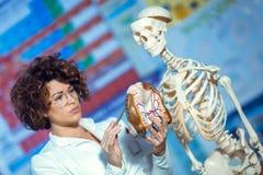 使用人脑模型,篡改妇女教的解剖学 免版税库存照片