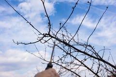 使用化学制品在庭院里 应用杀虫药的花匠肥料于他的果子灌木,使用喷雾器 免版税库存照片