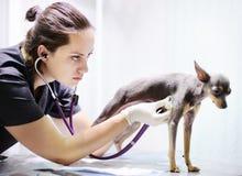 使用听诊器的兽医医生为狗在考试期间在兽医诊所 库存图片