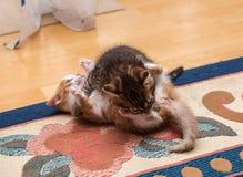 使用和战斗在地毯的两只逗人喜爱的小猫 免版税图库摄影