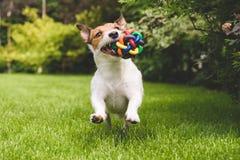 使用和跑与一个五颜六色的球的活跃狗 免版税库存图片