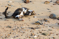使用在一个沙滩的一只愉快的宠物猫 免版税库存图片