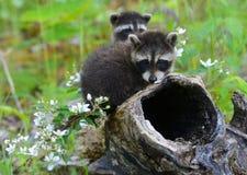 使用在一个空心树桩的两头小浣熊 免版税库存照片