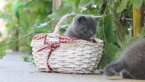 使用在一个篮子的小猫在围场 股票视频