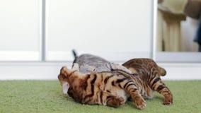 使用在一张绿色粗野的地毯的美丽的棕色和灰色纯血统孟加拉猫 股票视频