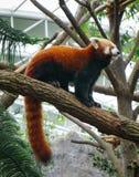 使用在一棵树的狡猾的人在动物园里 库存照片