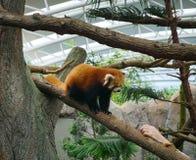 使用在一棵树的狡猾的人在动物园里 免版税库存图片