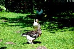 使用在一棵绿色和新鲜的草的许多鸭子 免版税库存照片