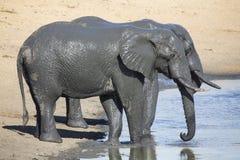 使用在与全部的泥泞的水中的大象牧群乐趣 免版税库存照片