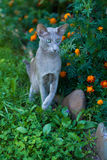 使用在公园的东方品种Shorthair灰色猫 库存照片
