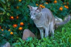 使用在公园的东方品种Shorthair灰色猫 免版税库存图片