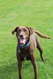 使用在公园的愉快的狗 库存照片