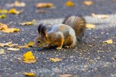 使用在公园的灰鼠寻找食物在晴朗的秋天天期间 免版税图库摄影