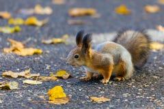 使用在公园的灰鼠寻找食物在晴朗的秋天天期间 免版税库存照片