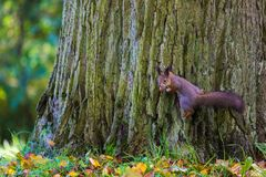 使用在公园的灰鼠寻找食物在晴朗的秋天天期间 免版税库存图片