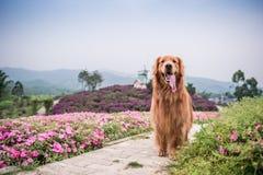 使用在公园的金毛猎犬 免版税库存图片
