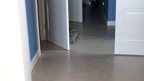 使用在公寓的走廊的灰色猫 影视素材