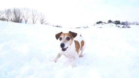 使用在冬天公园的可爱的活跃小狗杰克罗素狗 凉快周末走 DLSR照相机慢动作录影 股票视频