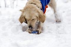 使用在冬天的金毛猎犬 库存照片