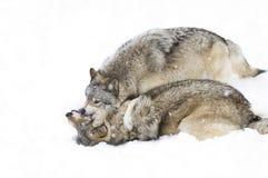 使用在冬天雪的一些北美灰狼天狼犬座 免版税库存照片