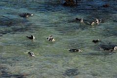 使用在南非的海的非洲企鹅 免版税库存照片