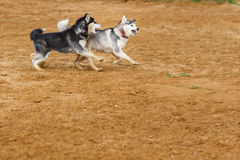 使用在地面的两条狗 免版税库存图片