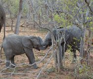 使用在大草原的一个徒步旅行队期间的婴孩大象 免版税库存图片